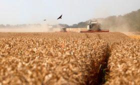 Аграрии Калининграда заявили о критической ситуации с продажей пшеницы