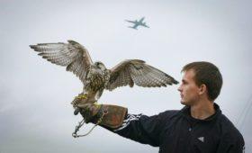 В «Аэрофлоте» предложили создать компанию для защиты аэропортов от птиц