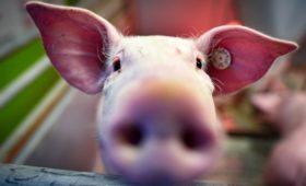 В России упали цены на свинину